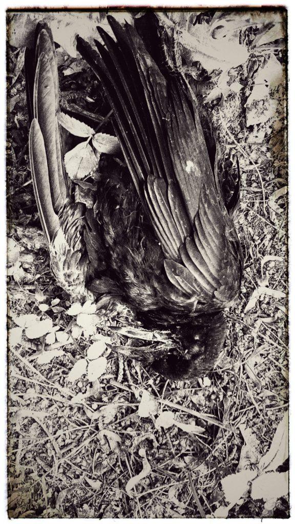 Större delen av ungfåglar dör under sitt första år, denna Råka blev inte gammal.