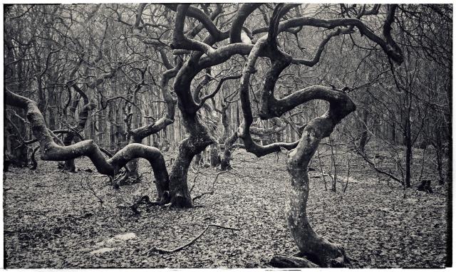 Prästaskogens trollskog. Vresbokar