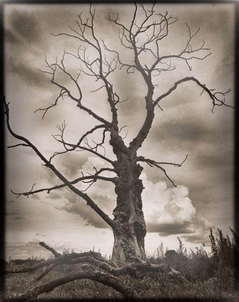 Träd, en alm