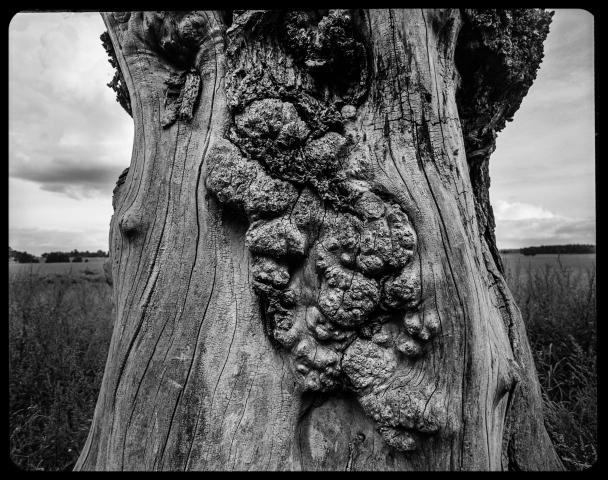 Träd, en gammal Alm på Revingefältet