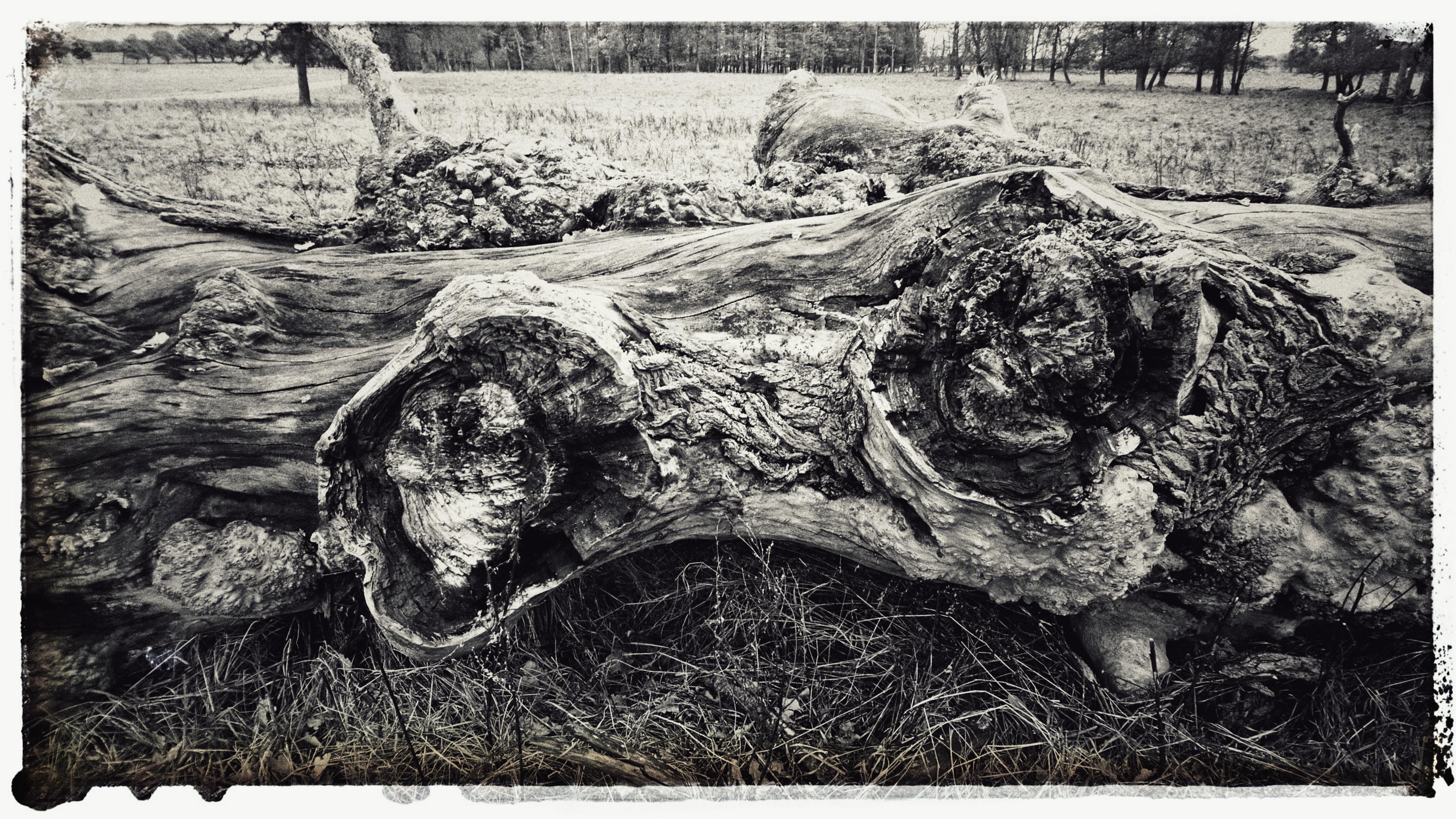 Ett fallet träd, en gammal Alm.